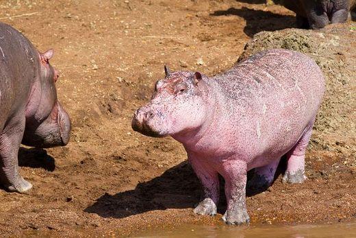 Rare Pink Hippopotamus
