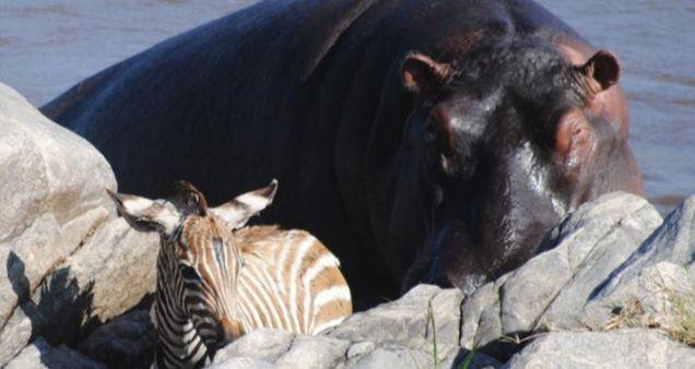 Hippo Helps Baby Zebra