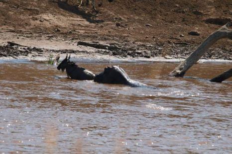 Hippo Helps Wildebeest