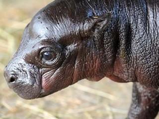 Zoo Miami Baby Hippo
